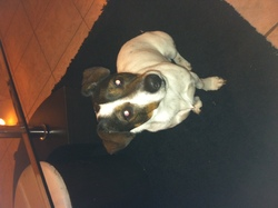 Enzo , chien Jack Russell Terrier