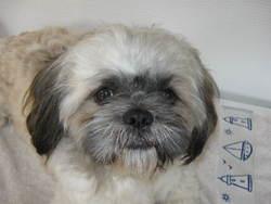 Enzo , chien Shih Tzu