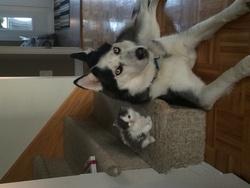 Enzo, chien Husky sibérien