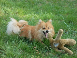 Enzo, chien Spitz allemand