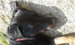 Enzo, chien Beauceron