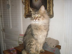 Enzo, chat Maine Coon