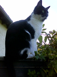 Enzo, chat Européen
