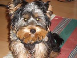 Enzo, chien Yorkshire Terrier