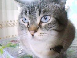 Enzo, chat Siamois