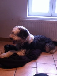 Enzo, chien Bearded Collie