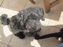 Enzo, chien Caniche