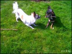 Enzo Et Ely, chien Chihuahua
