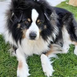 Enzo, chien Berger australien