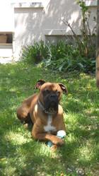 Enzo, chien Boxer