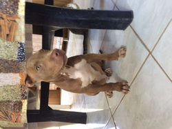 Enzy, chien American Staffordshire Terrier