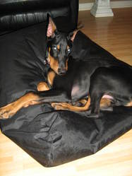 Enzzo, chien Dobermann