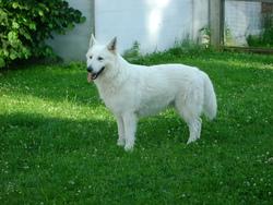 Eol , chien Berger blanc suisse