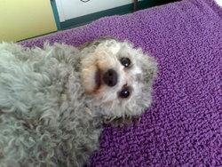 Eole, chien Caniche