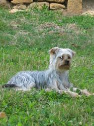 Eole, chien Yorkshire Terrier