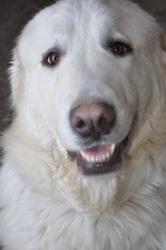 Eonia Daisy , chien Berger des Pyrénées