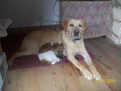 Eos, chien Labrador Retriever