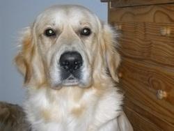 Eos, chien Golden Retriever