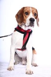 éos, chien Beagle