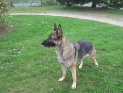 éosine De La Roche Commun, chien Berger allemand