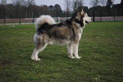 Eoss, chien Malamute de l'Alaska