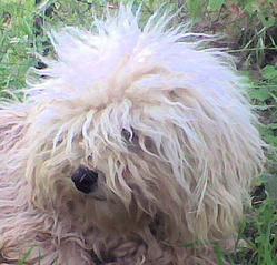 Epi, chien Bichon havanais
