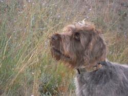 Epi, chien Griffon à poil dur Korthals