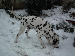 Epice, chien Dalmatien