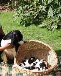 Epice Du Marais De Saintonge, chien Springer anglais