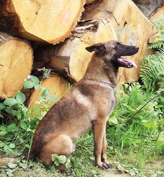 Epsso, chien Berger belge
