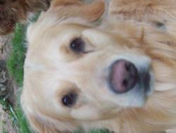 Epy, chien Golden Retriever