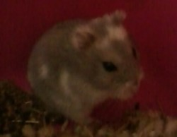 Equetore, rongeur Hamster