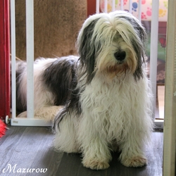 Era Mazurka, chien Berger polonais de plaine