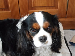 Eran, chien Cavalier King Charles Spaniel