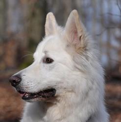 Eran, chien Berger blanc suisse