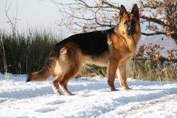 Erébus Des Nacrés De Vénus, chien Berger allemand