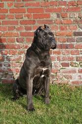 Erédè De La Guittonnie, chien Cane Corso