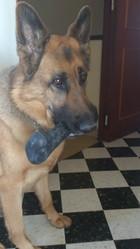 Ericka, chien Berger allemand