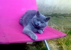 Erika, chat British Shorthair