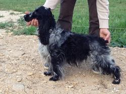 Erio, chien Cocker anglais