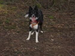 Eris, chien Border Collie