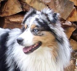 Erko, chien Berger australien