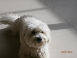 Ermes, chien Caniche