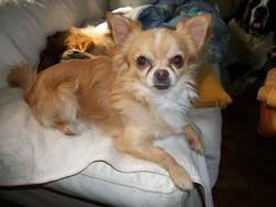Ermes, chien Chihuahua