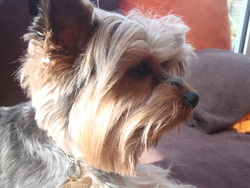 Ermes, chien Yorkshire Terrier