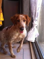 Ermia, chien Épagneul breton