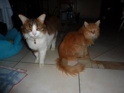 Ernest, chat Norvégien