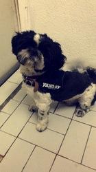 Ernest, chien Shih Tzu