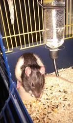 Ernest , rongeur Rat