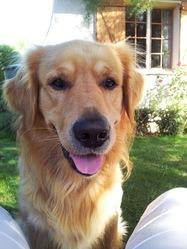 Erode, chien Golden Retriever